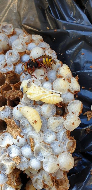 rimozione nidi vespe e calabroni
